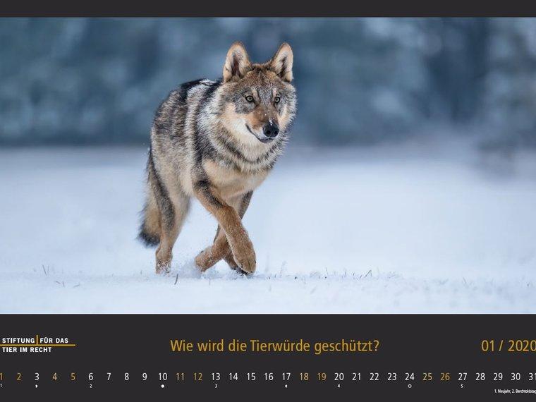 Tierschutzrechtskalender 2020, Bild Januar, Wolf