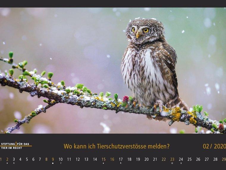 Kalender 2020 Februar, Eule