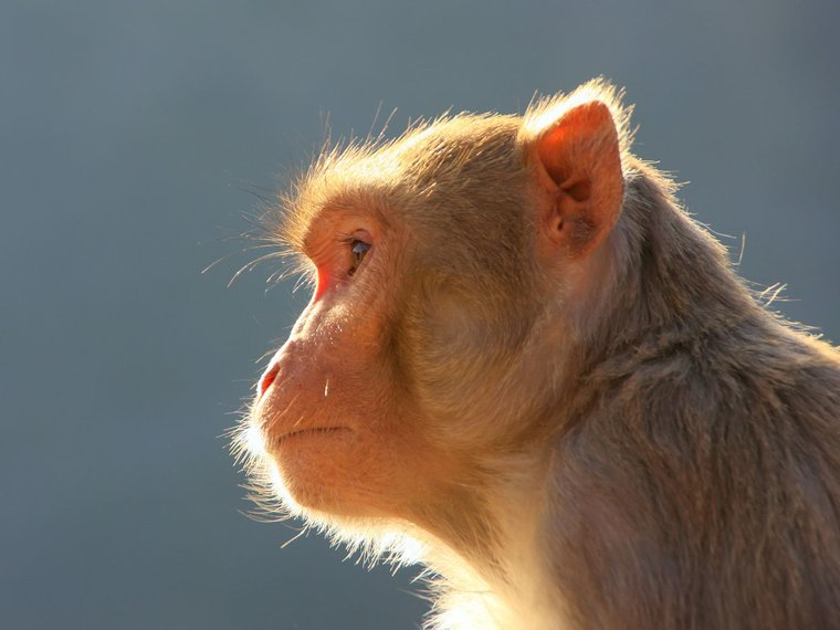 Affe seitlich Kopf Primat