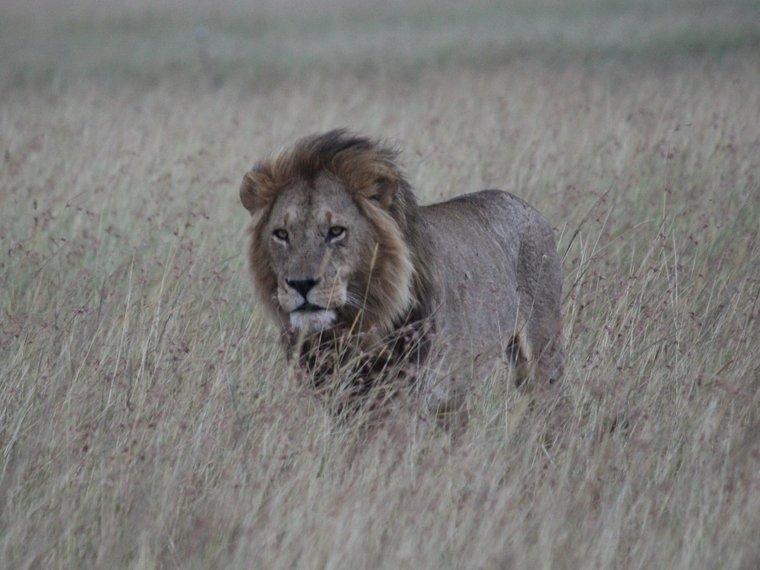 Löwe - könig der Tiere