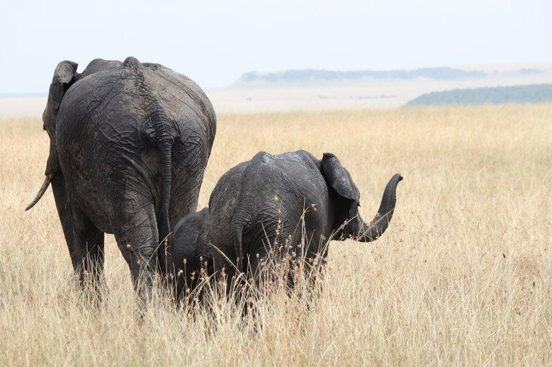 Elefanten Nachfrage nach Elfenbein