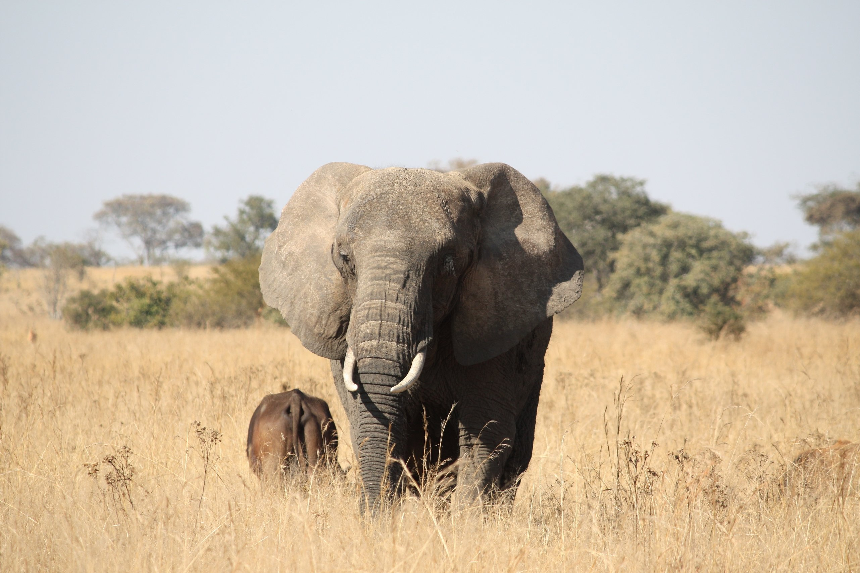 Elefanten sind beliebte Jagdobjekte...