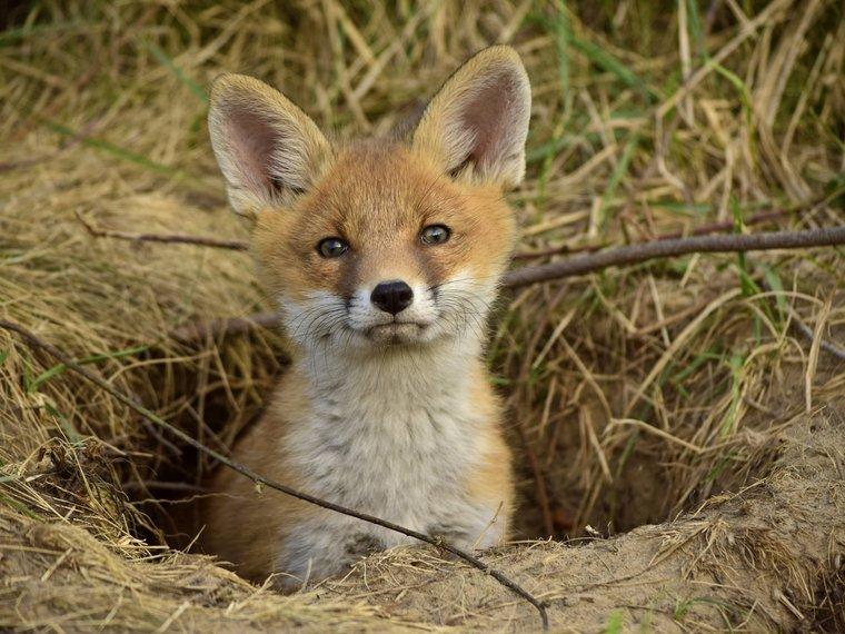 Baujagd Fuchs
