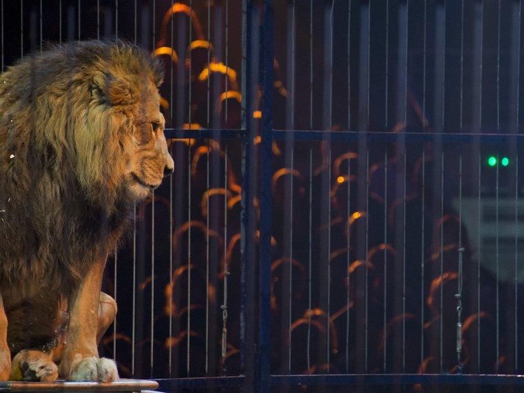 Löwe Zirkus