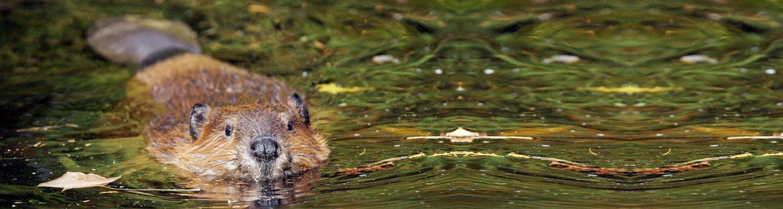 Header Biber schwimmt - Erfolge