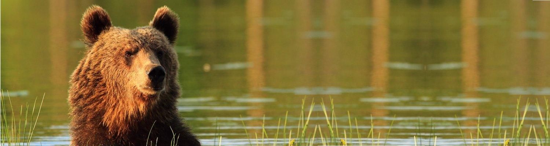 Header Braunbär im Wasser - Bundesverfassung