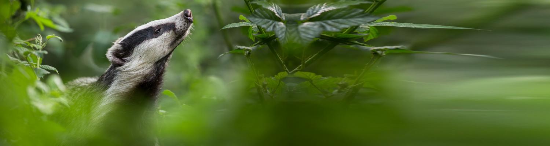 Header Dachs Wald Haftung und Versicherung