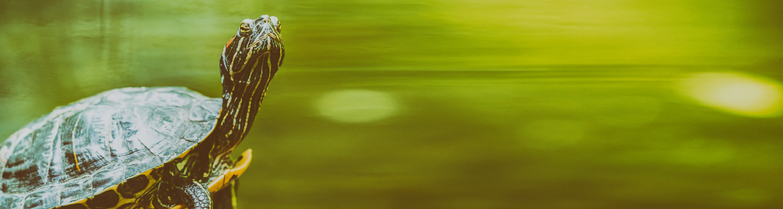 Header Sumpfschildkröte