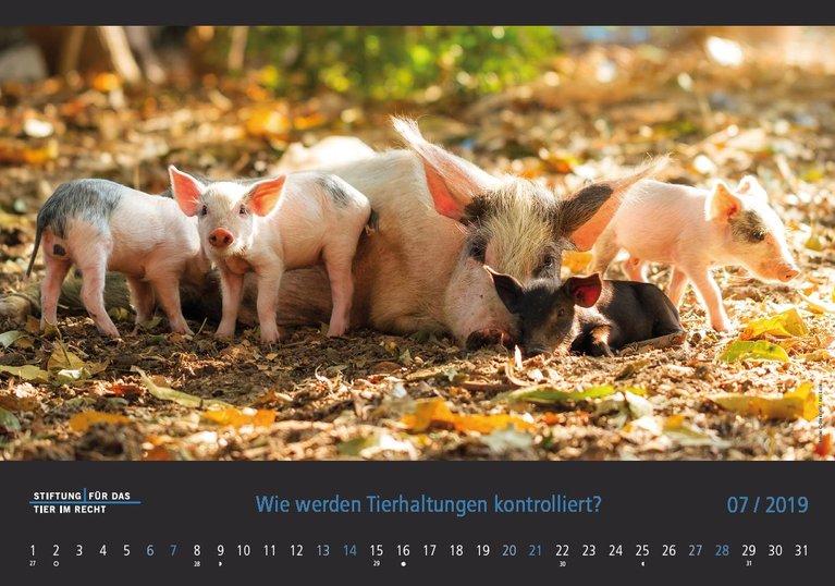 Kalenderbild Juli 2019 Schweine
