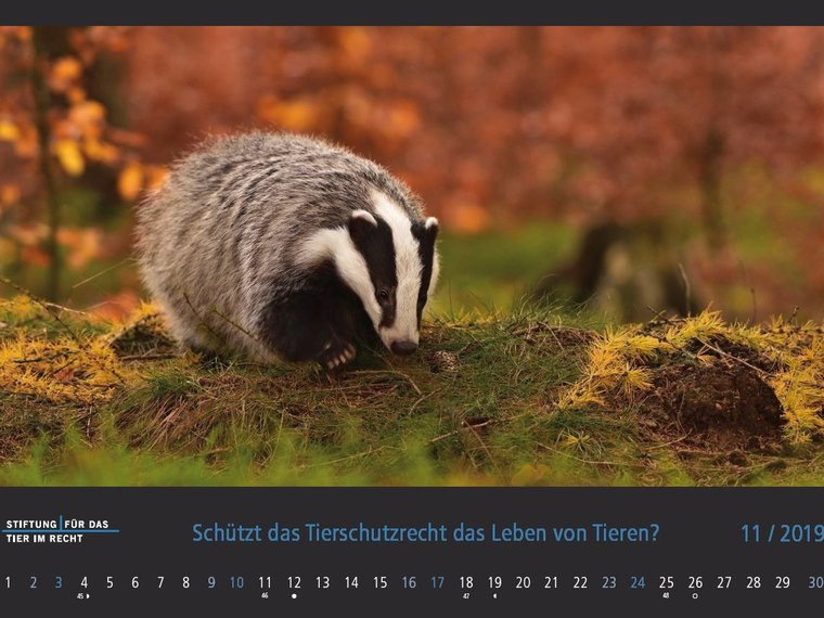Kalender 2019 November Bild Dachs