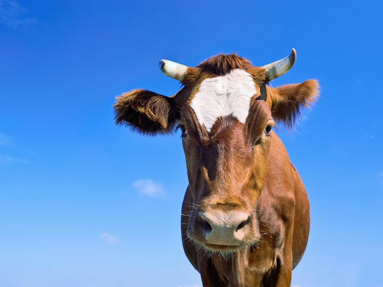 Kuh braun mit Hörner