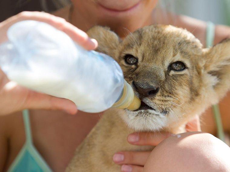 Löwenbaby Handaufzucht