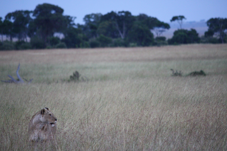 Eine Löwin im Maasai Mara Naturschutzgebiet in Kenia, wo die Jagd verboten ist.