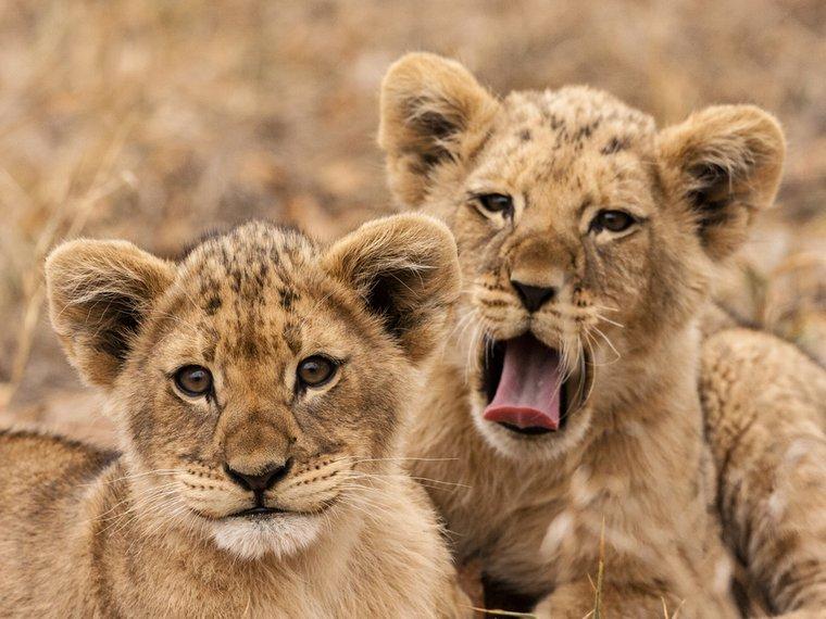 Löwenbabys-Gatterjagd.JPG