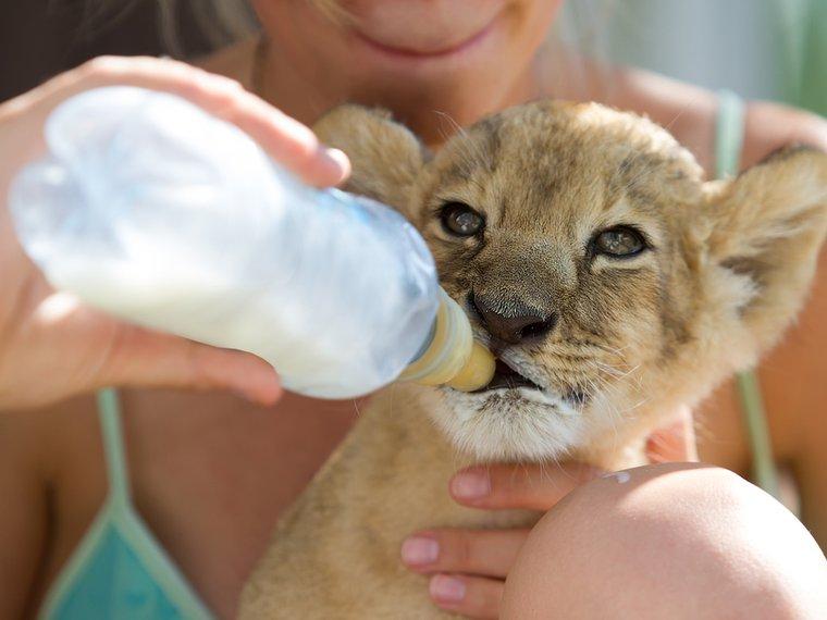 Handaufzucht Löwenbaby