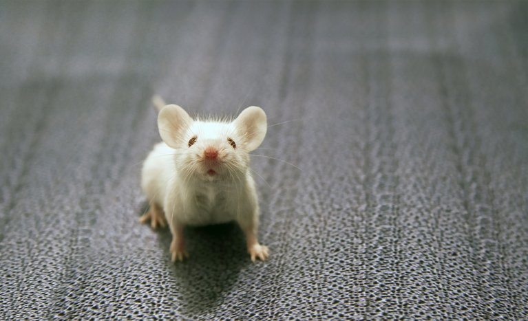 Maus Tierversuchsstatistik 2018