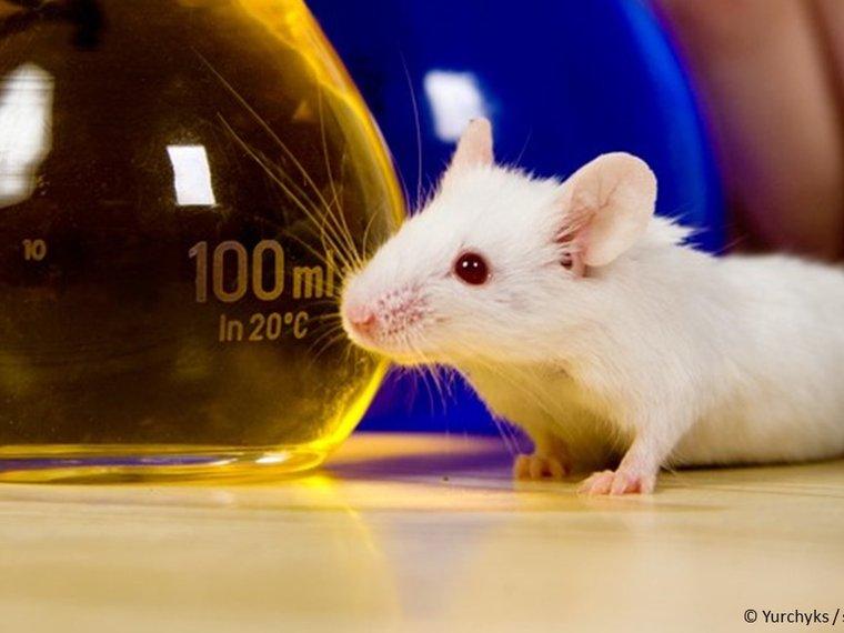 Maus, Versuchstier, Labor