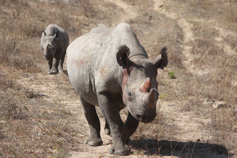 Nashörner in Simbabwe