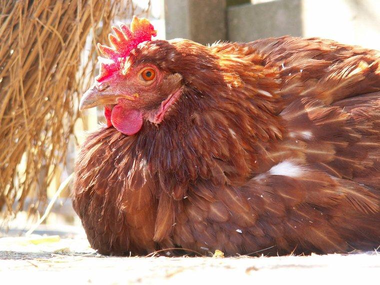 Huhn sitzend