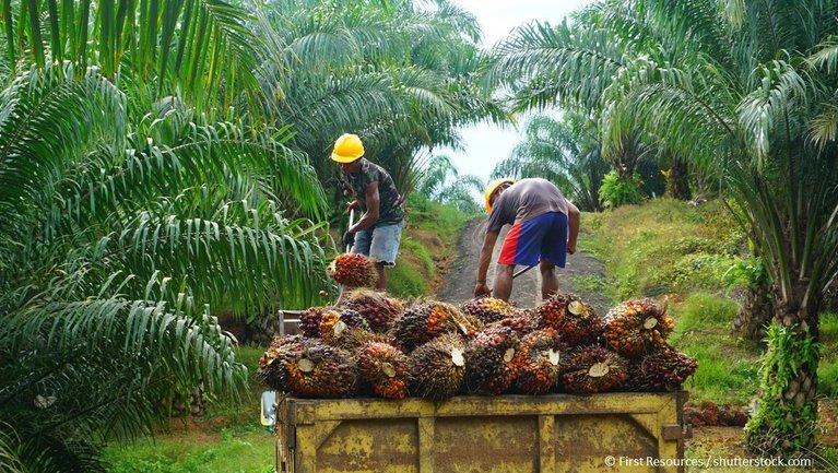 Palmölfrucht Gewinnung
