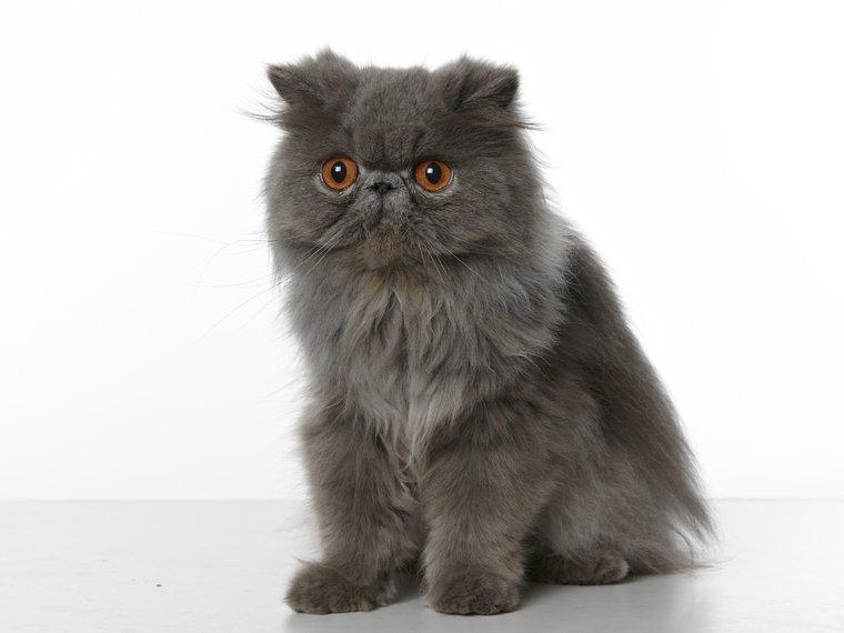 Katze Perser