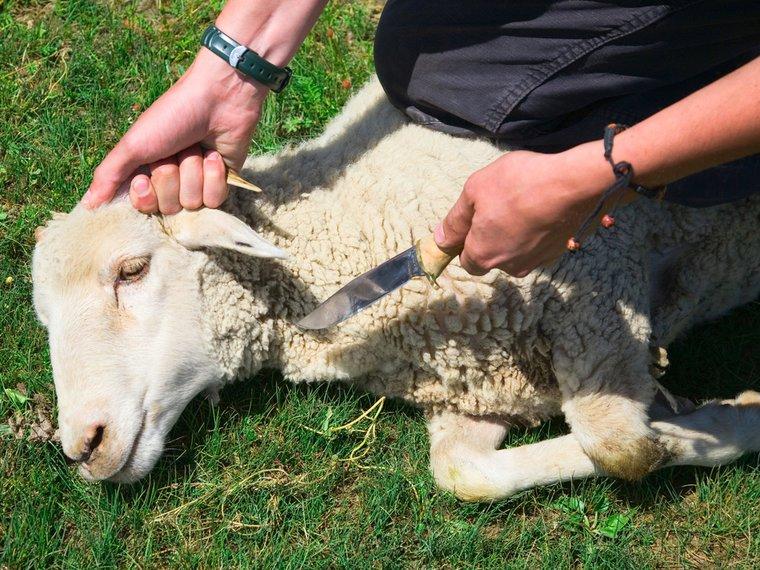 Schaf Schächten