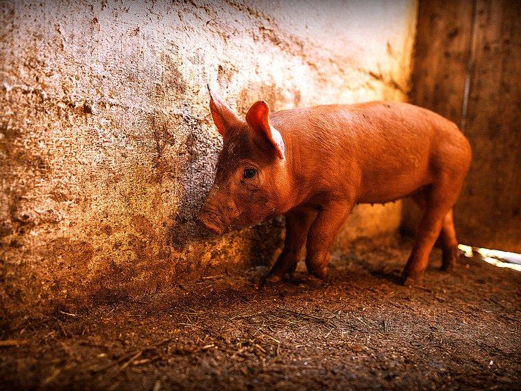 Schwein Titelbild Gutachten