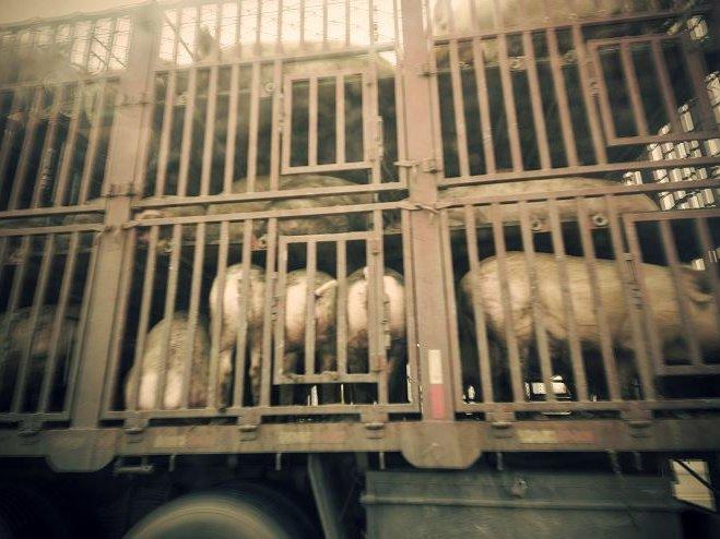 Schwein Transport