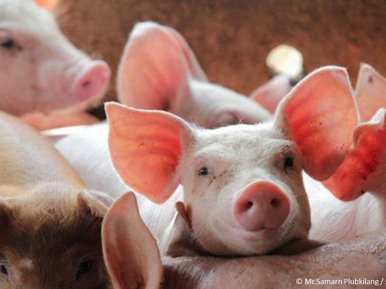 Schweine dicht gedrängt