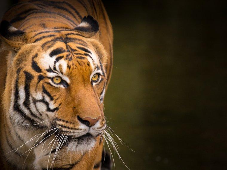 Tiger Portrait Shutterstock 348211985
