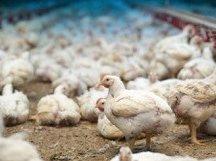 Titelbild Huhn zum Gutachten der Schweizer Tierschutzstrafpraxis 2016