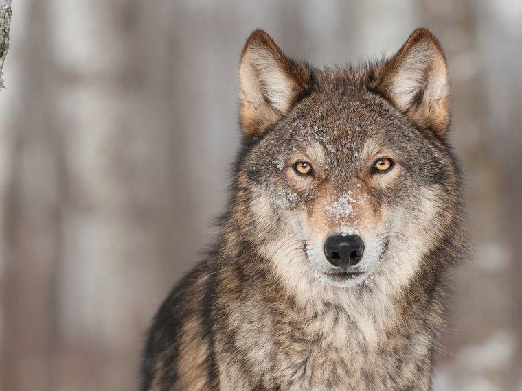 Wolf Shutterstock 136124996