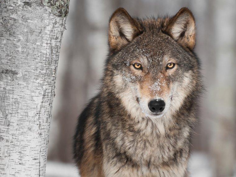 Wolf Portrait 2018