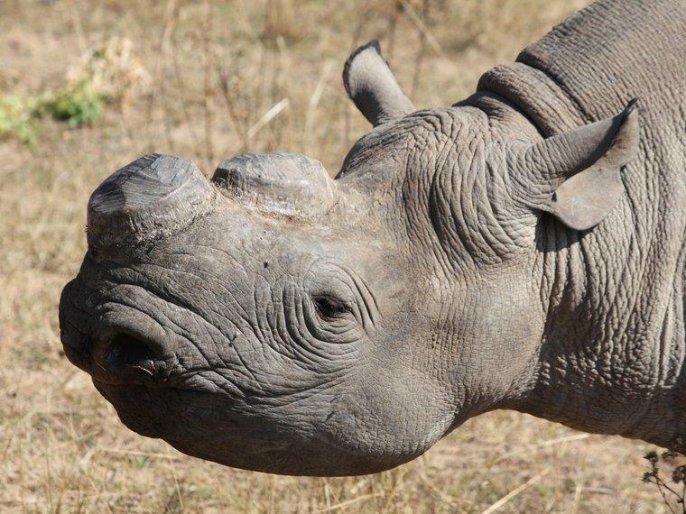 Zum Schutz vor Wilderei enthorntes Nashorn